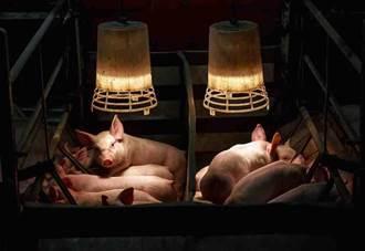 科學家首創人豬混合胚胎 往自製器官大邁進