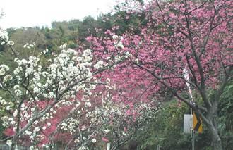 美呆!埔霧公路沿線廬山溫泉、奧萬大櫻花盛開