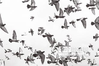 賽鴿重血統 更挑戰飼主能耐