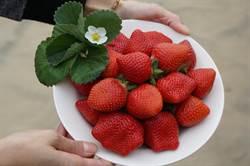 草莓植株弱化 神農莓農育成新品種
