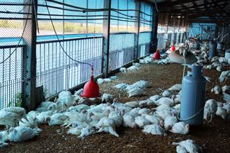 六甲火雞場異常大量死亡 初步排除禽流感疑慮