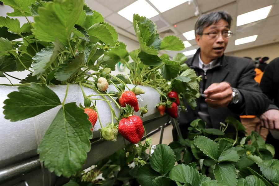 農委會農業試驗所研發草莓無農藥栽培,農試所所長陳駿季9日表示,將推廣至全台草莓產地農戶,讓消費者吃得更安心。(黃世麒攝)
