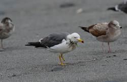 殘障黑尾鷗飛越千里 抵台東太平溪出海口