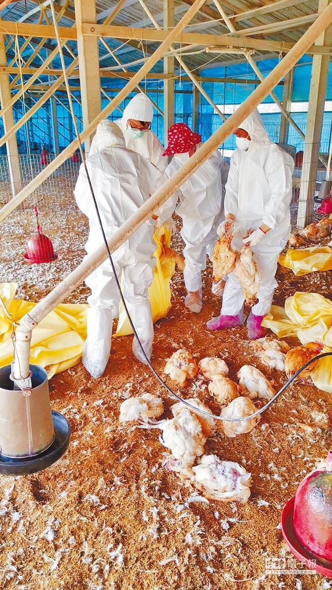 雲林縣台西鄉一雞場感染禽流感,縣防疫所撲殺近4000隻紅羽土雞。(許素惠翻攝)