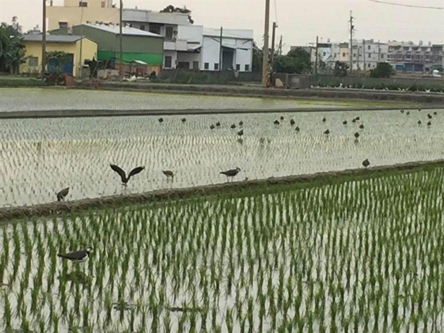 今年春天雲林縣的候鳥遷徙路徑怪異,從沿海到平原都有同樣的鳥蹤,連斗六郊區的水田也有小辮鴴。(周麗蘭攝)