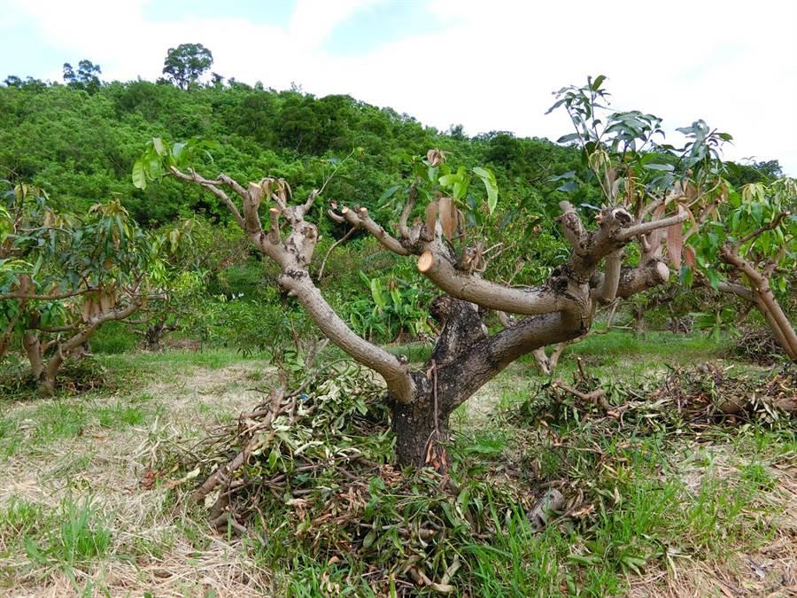 枋山地區芒果在去年9越,連遭2颱風襲擊,導致果樹受損嚴重,至今開花率未達2成,果農怨,只能等來年。(周綾昀攝)