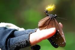 帶著毛筆的紫斑蝶 把握2月觀賞期