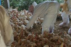 吃不到雞肉了?農委會研擬明家禽禁宰禁運