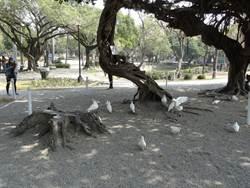 禽流感防疫  中市公園餵鴿最高罰1萬