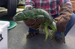 1公尺長綠鬣蜥遭追捕 嚇到「斷尾求生」