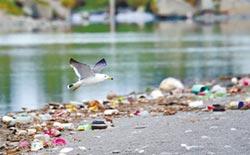 黑尾鷗棲息地 太平溪出海口滿是垃圾