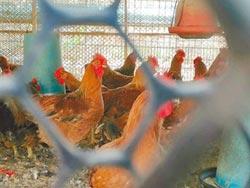 鵝也淪陷 H5N6延燒竹縣