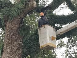百年老樹被沖天炮灼傷 鄉公所盼列管