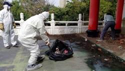 台南竹溪寺鴿群暴斃 防疫人員清理竟沒穿防護衣