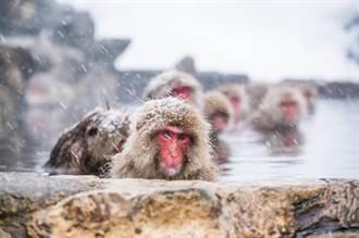 為保護特有種 日本撲殺57隻「混血」獼猴