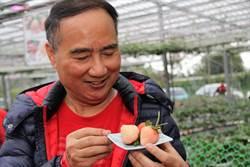 宜蘭多雨 卻種出珍稀日本白草莓