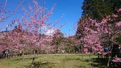 阿里山花季3/10開跑 櫻花已開7成