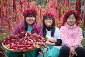 中市西屯國小開心農場種紅藜 學生歡喜採收