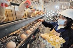 禽流感肆虐 陸蛋雞養殖戶 苦不堪言