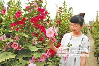 學甲蜀葵花海 浪漫百分百