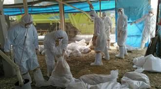 台南下營土雞場傳禽流感 撲殺1.6萬隻