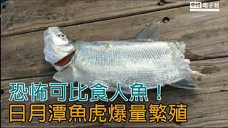 恐怖可比食人魚!日月潭魚虎爆量繁殖