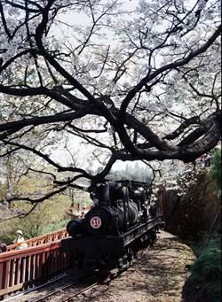 阿里山森鐵穿梭櫻花林  花季看得到