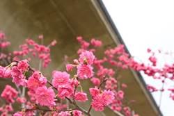 春天到 快來竹東河濱公園賞櫻!