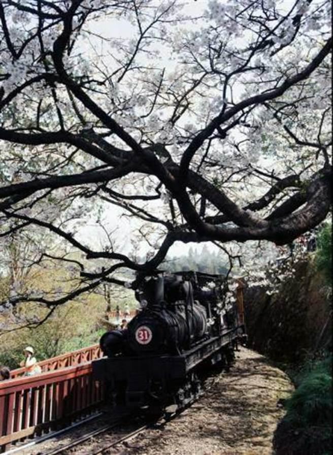 阿里山花季限定!蒸汽機車穿越在櫻花樹下,相當唯美。(嘉義林管處提供)