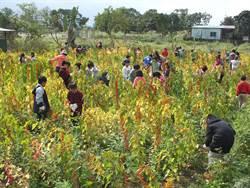 穀界紅寶石 花蓮打造紅藜示範區