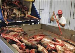 亞洲鯉魚入侵 美懸賞求良方