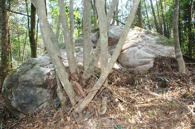 巨石露出地面的部分,長約7公尺、寬2公尺多。(沈揮勝攝)