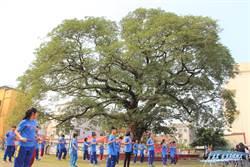 樹形美、人情更美! 嘉興國小雨豆樹獲選全國最美校樹