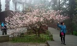阿里山唐實櫻正盛開  值得上山賞花