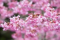 阿里山櫻花季開鑼 已盛開5成