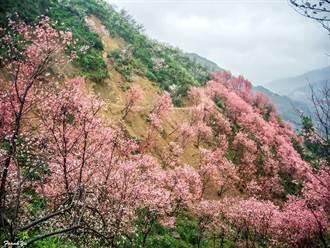 台灣之美》三峽竹崙溪賞櫻花