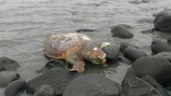 海龜陳屍沙灘  專家疑為赤蠵龜