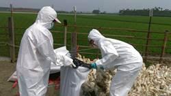 屏2處肉鴨場中H5N8及H5N2禽流感 撲殺上萬隻鴨