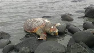 海中紅遊俠赤蠵龜迷航 彰化海域擱淺死