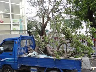 88萬羅漢松賣8萬 警方逮獲偷樹賊