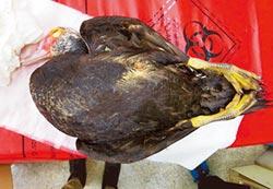 碧湖公園死鴨 不確定染H5N6
