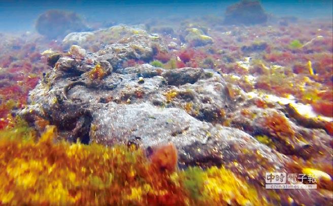 中寮港海藻床上也發現呈黑色長條狀的大量沉底重油。(飛魚潛水提供)