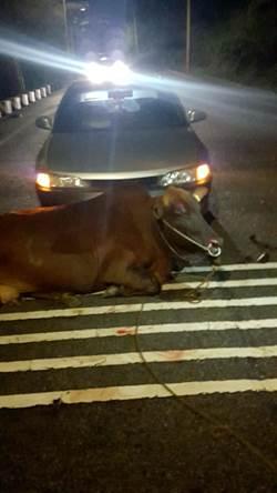 金門牛又撞車 車毀牛傷人安