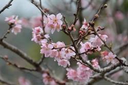 魚池鹿篙粉紅吉野櫻夾道 這周末賞花最佳時刻