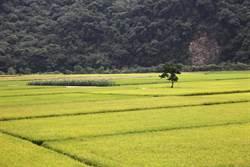 玉山下的第一畝田 瓦拉米生產有機米