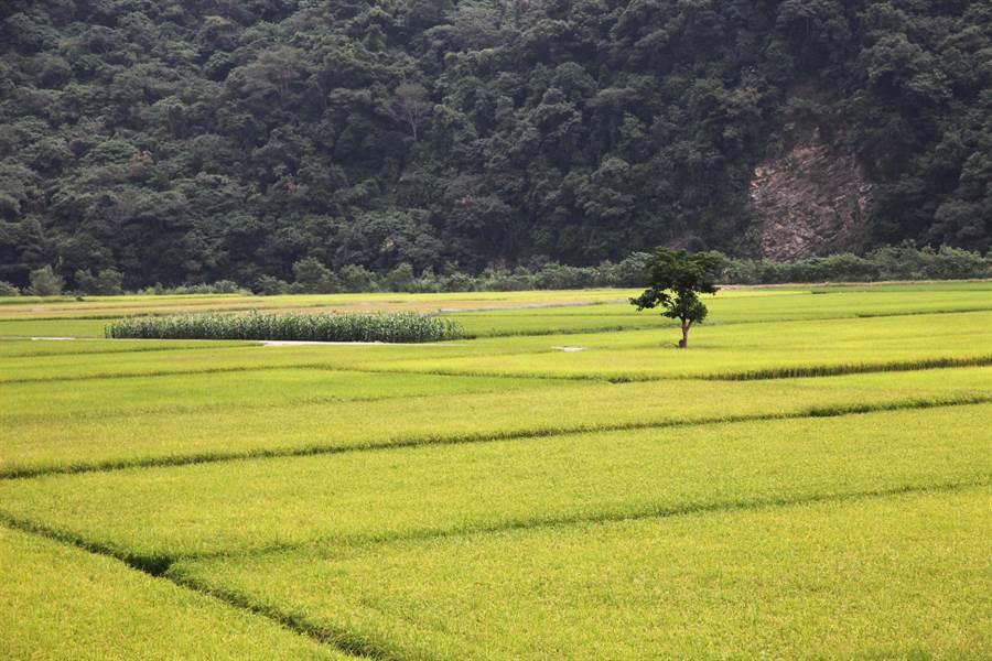 今年水情吃緊影響水稻種植,農政單位提供補助。(廖志晃攝)