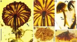 最古老的完整蘑菇化石 藏身琥珀