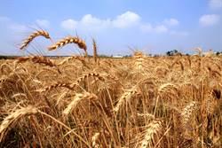 學甲小麥熟了 金黃海浪迷人