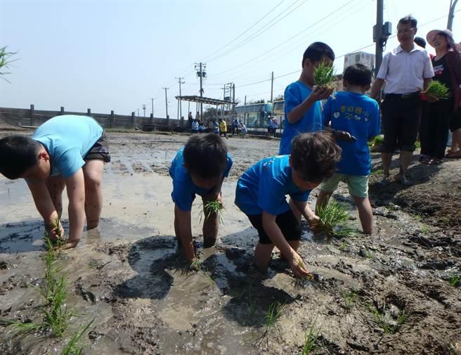 香田國小1年級小朋友的插秧初體驗。鐘武達攝。