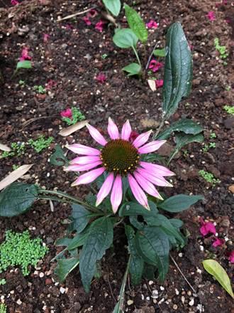 復育紫錐花有成 松山工農遍地開花